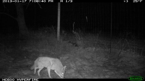 We set the camera up on the west side of the farm along what we think is in an elk path. We got three photos the first night. Wiley coyote.