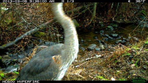 Trail camera brings another intriguing image. What is this?  Can you guess?