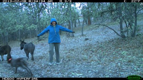 The farm animals caught with the trail camera on an early morning walk.