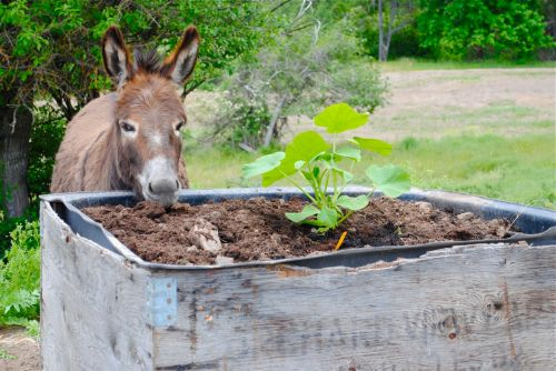 "Chippo investigates the newly planted ""Cinderella"" pumpkin plant.  It's not certain how hard we will have to work to keep the donkeys out of the vegetables. This photo was taken on the day I planted, and the donkeys are always attracted to anything new on the farm."