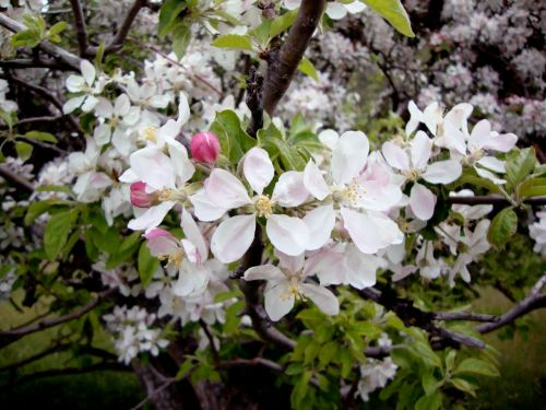 Mule Springs Farm apple blossoms.