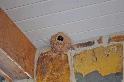 The completed barn swallow nest with the bird looking down upon me. Later we had a terrible storm with high winds, and the nest was blown down. Unfortunately one baby was inside the nest and it could not be saved.