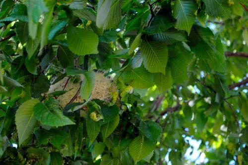Bullock's Oriole's thready nest.
