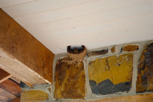 The barn swallow built a mud nest on the ceiling of our covered porch.  We enjoyed many days of watching the birds come and go and stare down at us from their mud house.