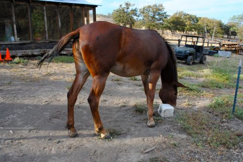 Seeing the back end of a mule helps one appreciate how powerful this animal is.  Short tail comes from the donkey as does the long ears and  the small hooves.  That massive hind and leg muscles are gifts from both the horse and the donkey.  My miniature donkeys can practically walk underneath this mule.