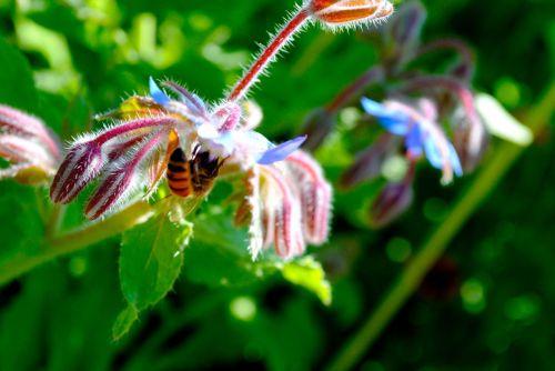 Borage and Honeybee.