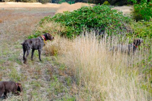 Skookum and Ouzel on soft point for California quail, and Gypsy catches the scent--creeps in.