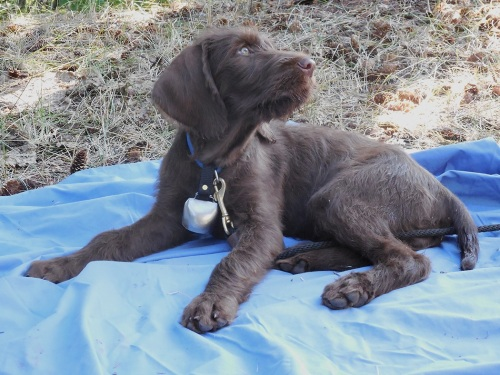 From this --Gypsy the Pudelpointer puppy.