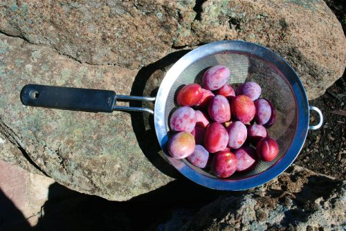 Nathan's plums.