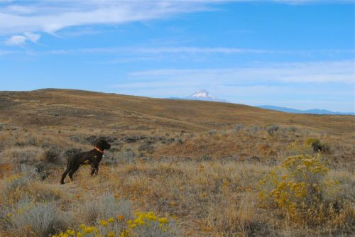 Gypsy with Mount Hood in the background.