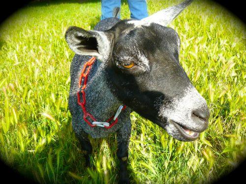 Favorite goat at Windsor Farm.