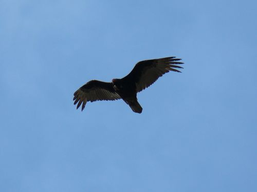 Photo of a Turkey Vulture taken by Heidi at Deschutes River State Park.