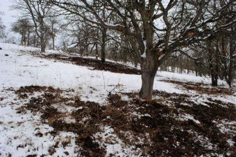 Areas under white oaks where wild turkey have removed snow and leaves.